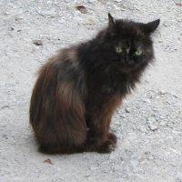 Черный пушистый кот :: Людмила Монахова