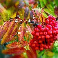 ...гроздья рябины под окном... :: Евгений Фролов