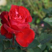 Роза. :: Светлана Исаева