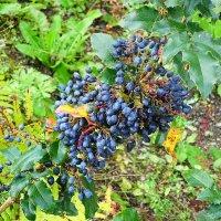 Дикий виноград :: Маргарита Батырева