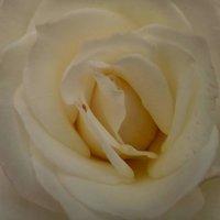 роза :: Настя