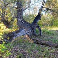 Старое расщепленное дерево :: Elena Sartakova