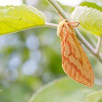 Бабочка тонкопряд хмелёвый :: Александр Синдерёв