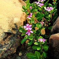 Цветы на камнях :: Александр