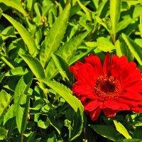 Красный цветок :: Светлана