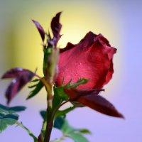 Red rose :: Олег Шендерюк