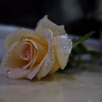Вы видели, как плачут розы по ночам? :: Людмила Богданова (Скачко)