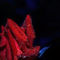 Кусочек вечерней розы... :: Александр Вивчарик
