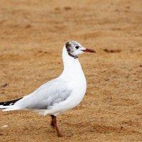Чайка на песке :: Aнна Зарубина