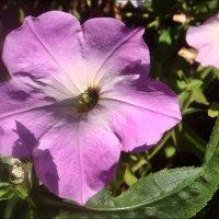 Цветок петунии :: Нина Корешкова