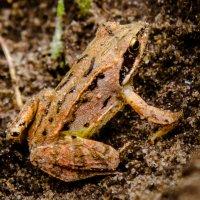 земляная лягушка :: Валерий Гудков