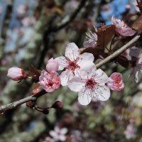Австралийская весна :: Tatiana Belyatskaya