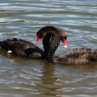 любовь и лебеди... :: Александр