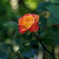 Роза в сентябре. :: Анатолий. Chesnavik.