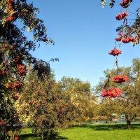 Рябиновый сад. :: Larisa Ereshchenko