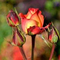 Роза в сентябре! :: Михаил Столяров