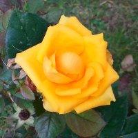 Последняя дачная роза ! :: Виталий Селиванов