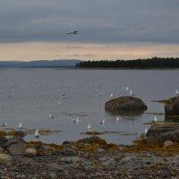 Беломорские чайки :: Ольга