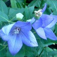 Голубые-голубенькие колокольчики :: Нина Корешкова