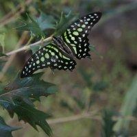 Бабочка :: Катарина Винниченко