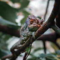 Хамелеончик...Мадагаскар! :: Александр Вивчарик