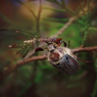 майский жук :: Наталья Золотарева