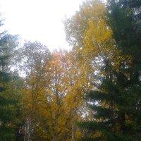 Осины осенью :: Сапсан