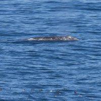Серый кит :: Сергей Рычков