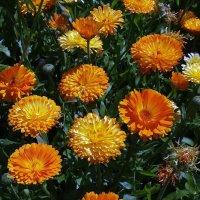Цветы с  клумбы... :: Владимир Бровко