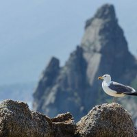 Байкальские чайки :: Владимир Гришин