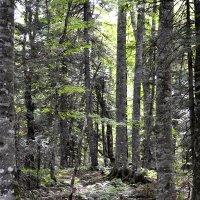 Реликтовый буково-грабовый лес. :: Aлександр **