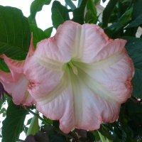 Дурман или Датура с розовыми цветками. :: Наиля
