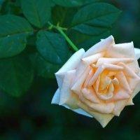 Осенняя роза :: Светлана