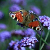 Бабочка. :: Ирина Лебедева