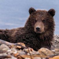 Портрет медвежонка :: Александр Поборчий