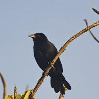 Питомцы Перу. черный дрозд (Scrub Blackbird) :: Svetlana Galvez