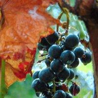 Последние гроздья :: spm62 Baiakhcheva Svetlana