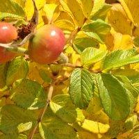 Краски шиповника осенью :: Лидия (naum.lidiya)