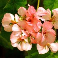 Розовая Герань... :: Тамара (st.tamara)