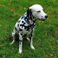 """Мраморный"" пёс :: Милешкин Владимир Алексеевич"