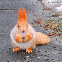 Сытая белка :: Сергей Манекин