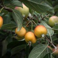 яблочки :: Наталья S