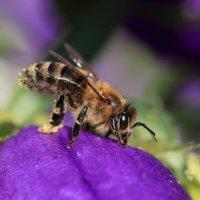 Пчелка :: Татьяна Панчешная
