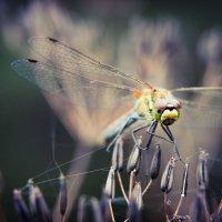 Мир глазами стрекозы :: Светлана Радченкова