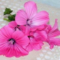 Розовый шёлк лаватеры. :: nadyasilyuk Вознюк