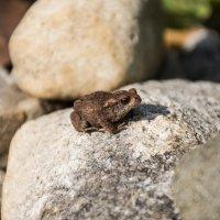 Маленькая жабка на камне :: Иван Кудряшов