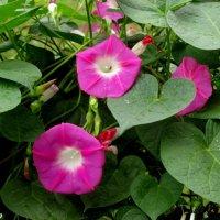 Вьюнок садовый :: Нина Бутко