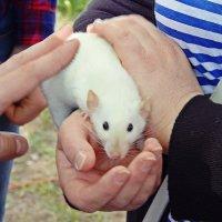 Крыса счастья. :: Виктор Егорович