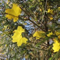 Кленовые листья. :: Наталья Золотых-Сибирская