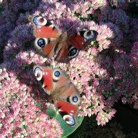 Бабочки :: BoxerMak Mak